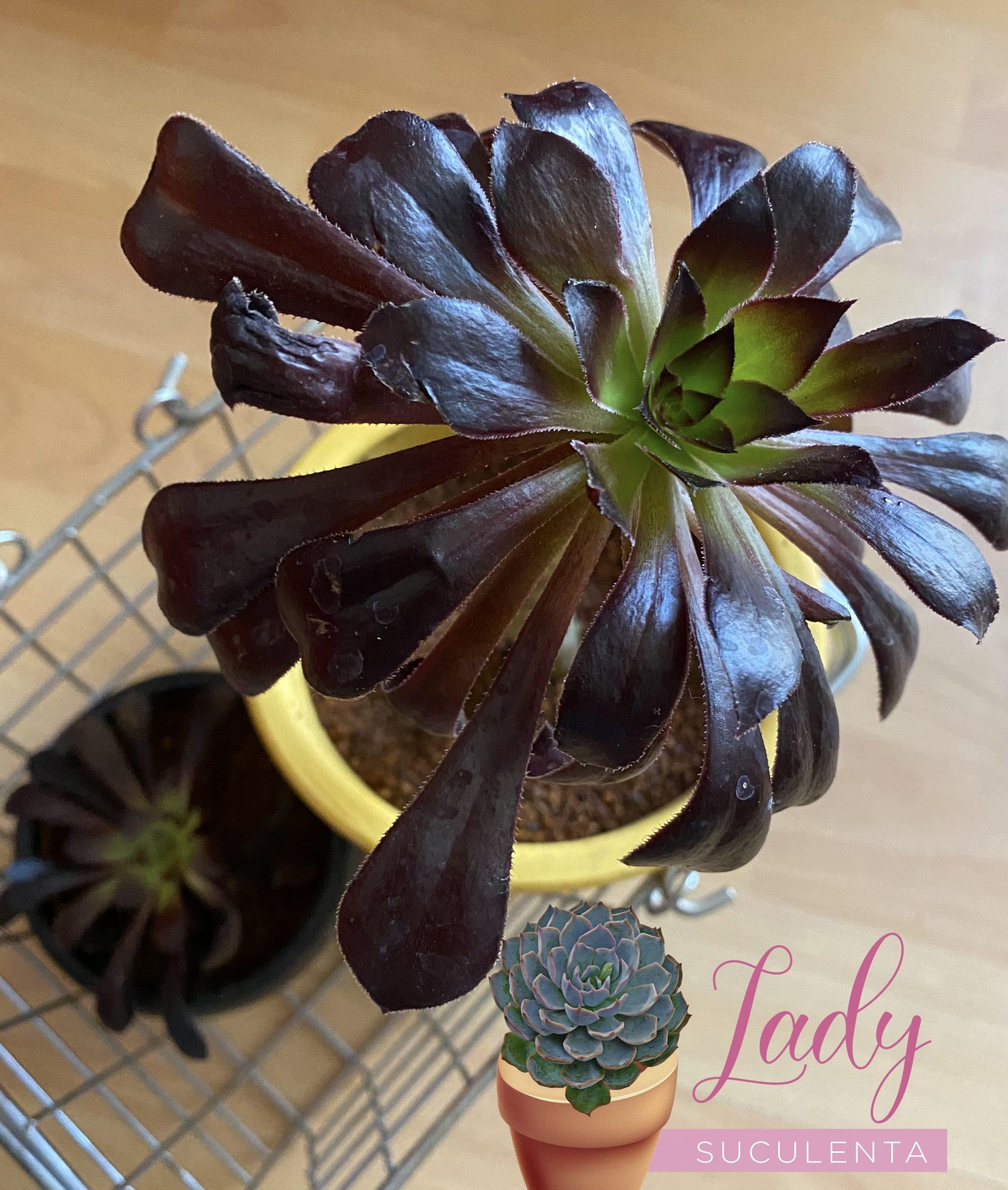 Las suculentas negras, glamorosas, modernas para los amantes de la decoración gótica